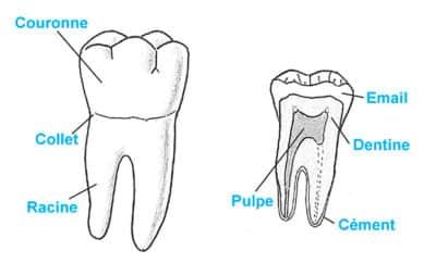 Anatomie d'une dent