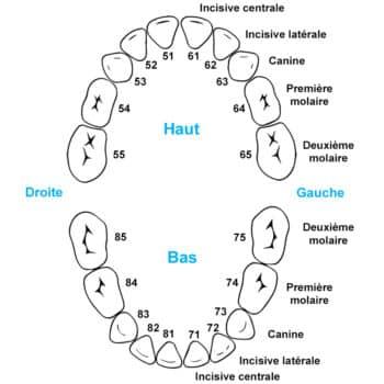 Schéma de numérotation des dents d'un enfant